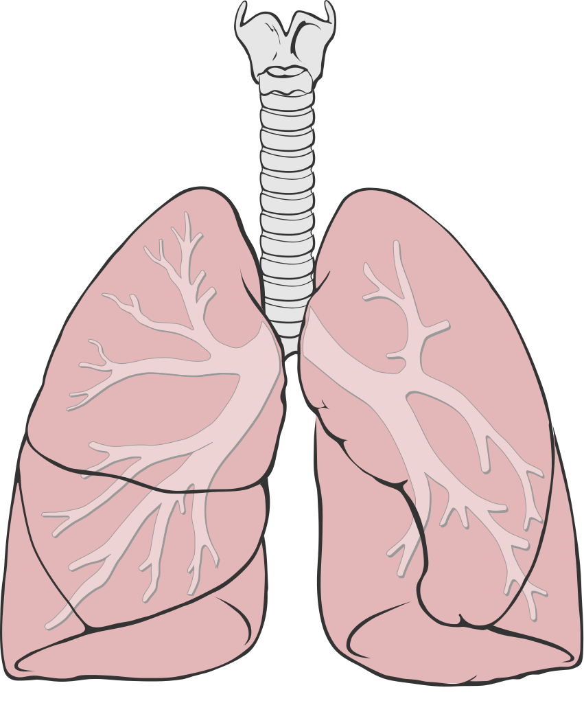 banner transparent Drawing at getdrawings com. Lungs clipart for kids