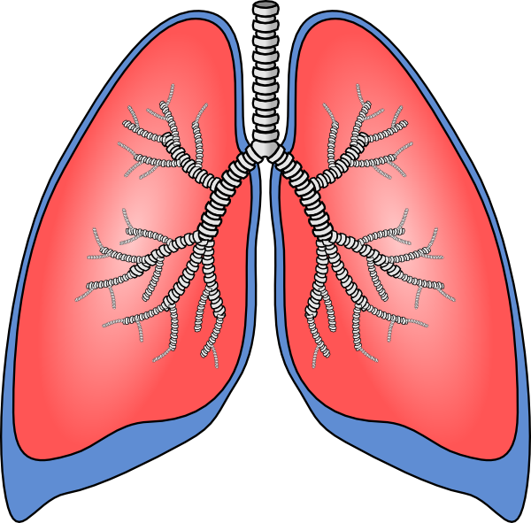 banner royalty free library Lungs clipart. Clip art at clker.