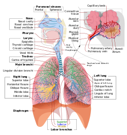banner download Respiratory system wikipedia. Vector capacity lung