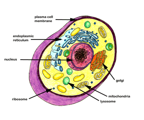image transparent library ribosome drawing cytoplasm #102283234