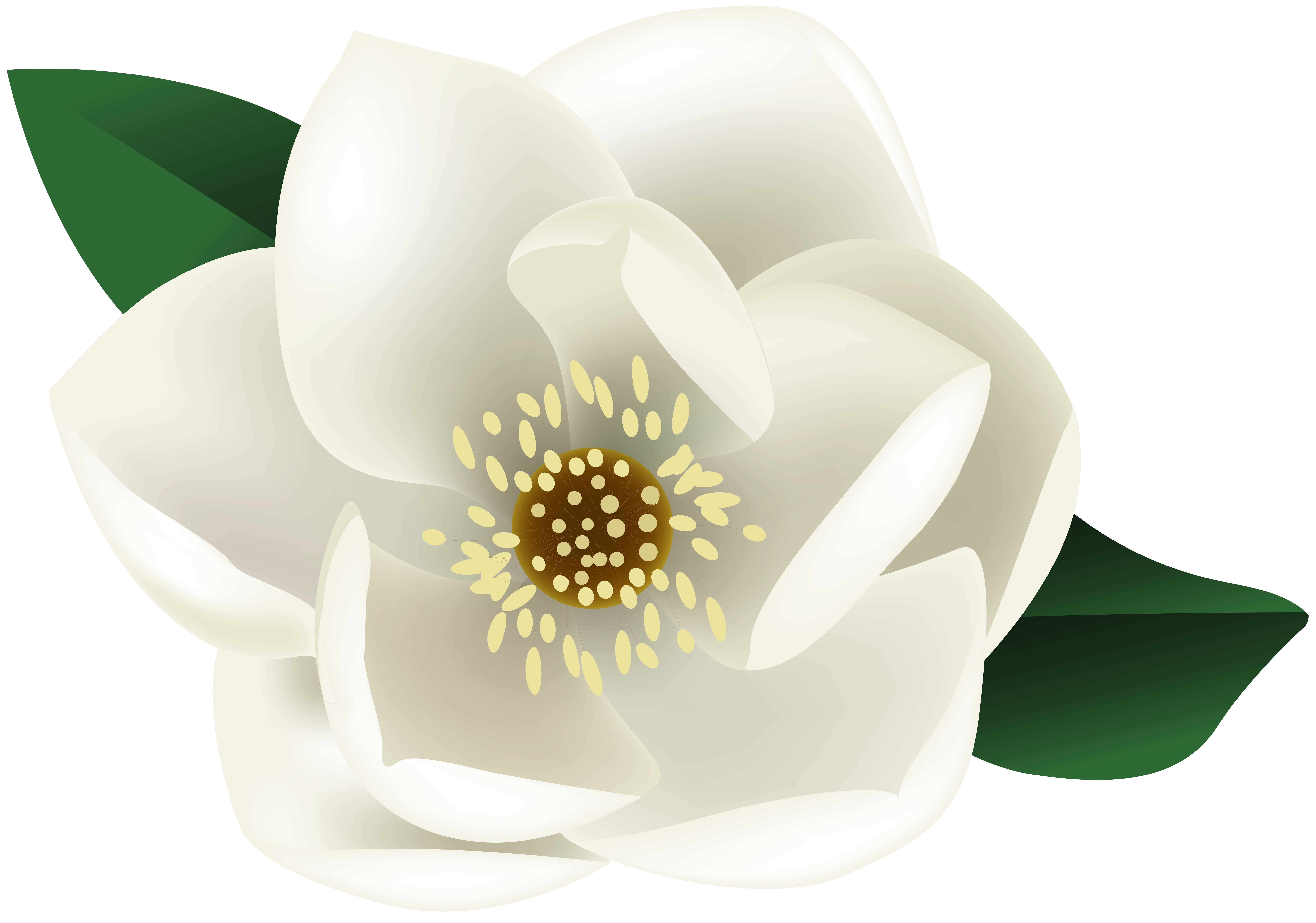 graphic royalty free White flower png clip. Magnolia clipart.