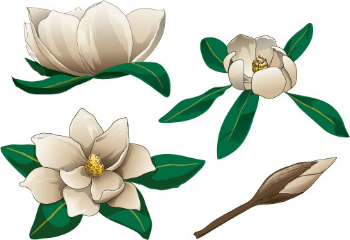 jpg royalty free stock Magnolia clipart. Free cliparts download clip