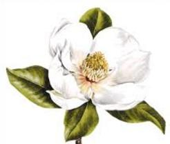 jpg royalty free stock Free cliparts download clip. Magnolia clipart.