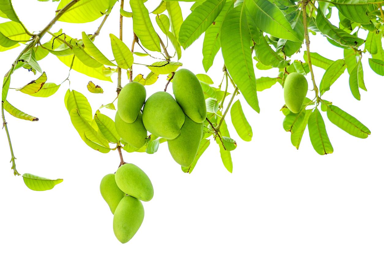 image free Fruit Leaf Mango pudding