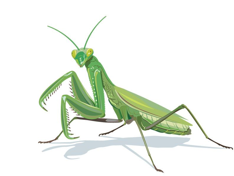 vector black and white stock Mantis drawing design. Praying gallery halloween costume