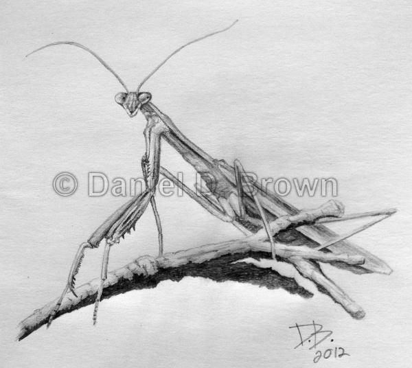 jpg library library Preying daniel d brown. Mantis drawing pencil