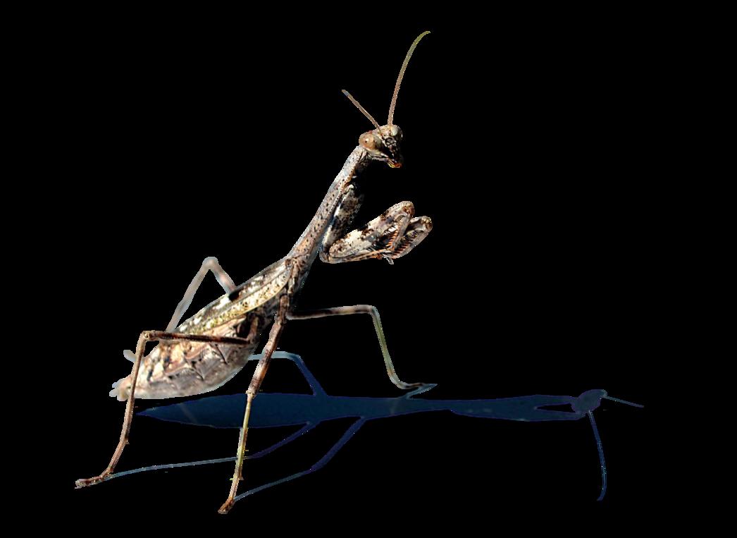 graphic library Praying Mantis Stock Photo