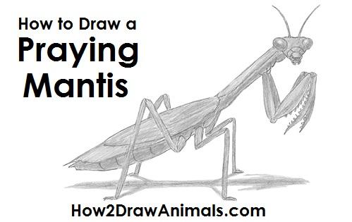 jpg download How to Draw a Praying Mantis