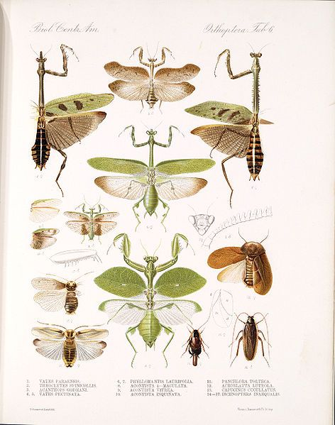 png library library Image result for praying mantis scientific illustration