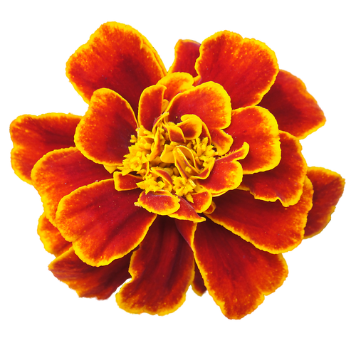 clip free stock Marigold Transparent