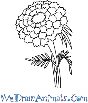 vector black and white download How to draw a. Marigolds drawing.
