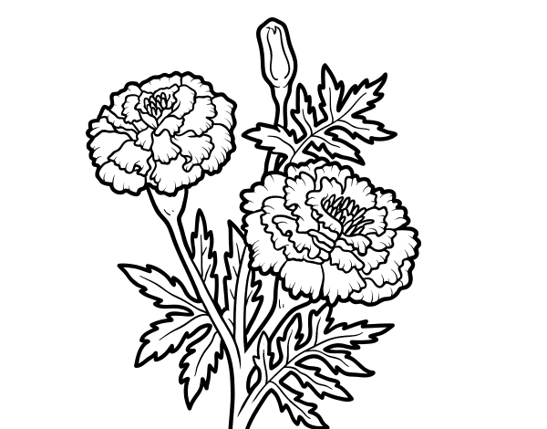 image freeuse library Marigolds drawing. Mexican marigold flower transprent.