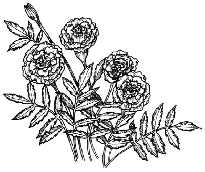 clip royalty free How to draw a. Marigolds drawing.