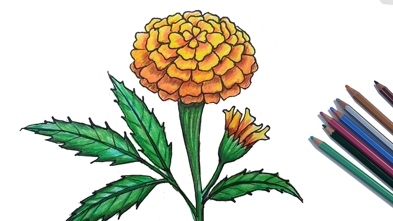 picture royalty free stock Marigolds drawing. How to draw marigold.