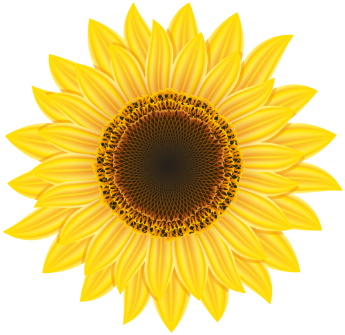 clipart transparent Sunflowers clipart thanksgiving. U yj strza ek.