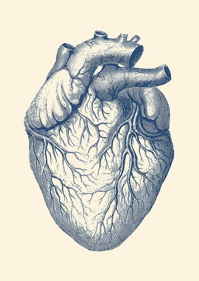 banner transparent library Human heart vintage . Medical drawing