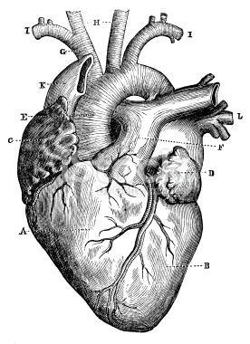 picture freeuse stock Medical drawing. Anatomical heart illustration google