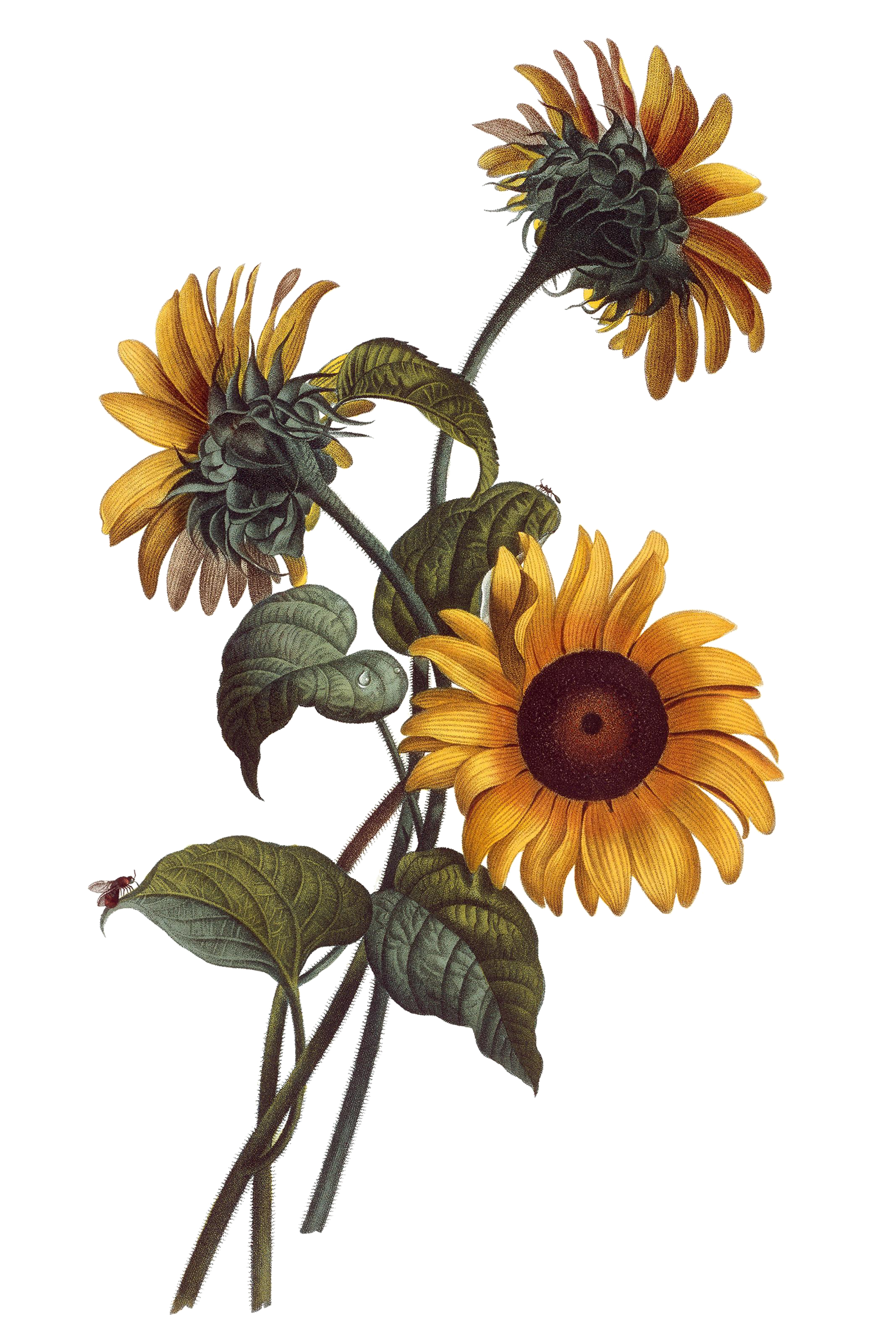 image transparent library Blackberry drawing botanical. Common sunflower watercolor painting