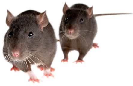 vector library library Transparent mice. Rat mouse png free