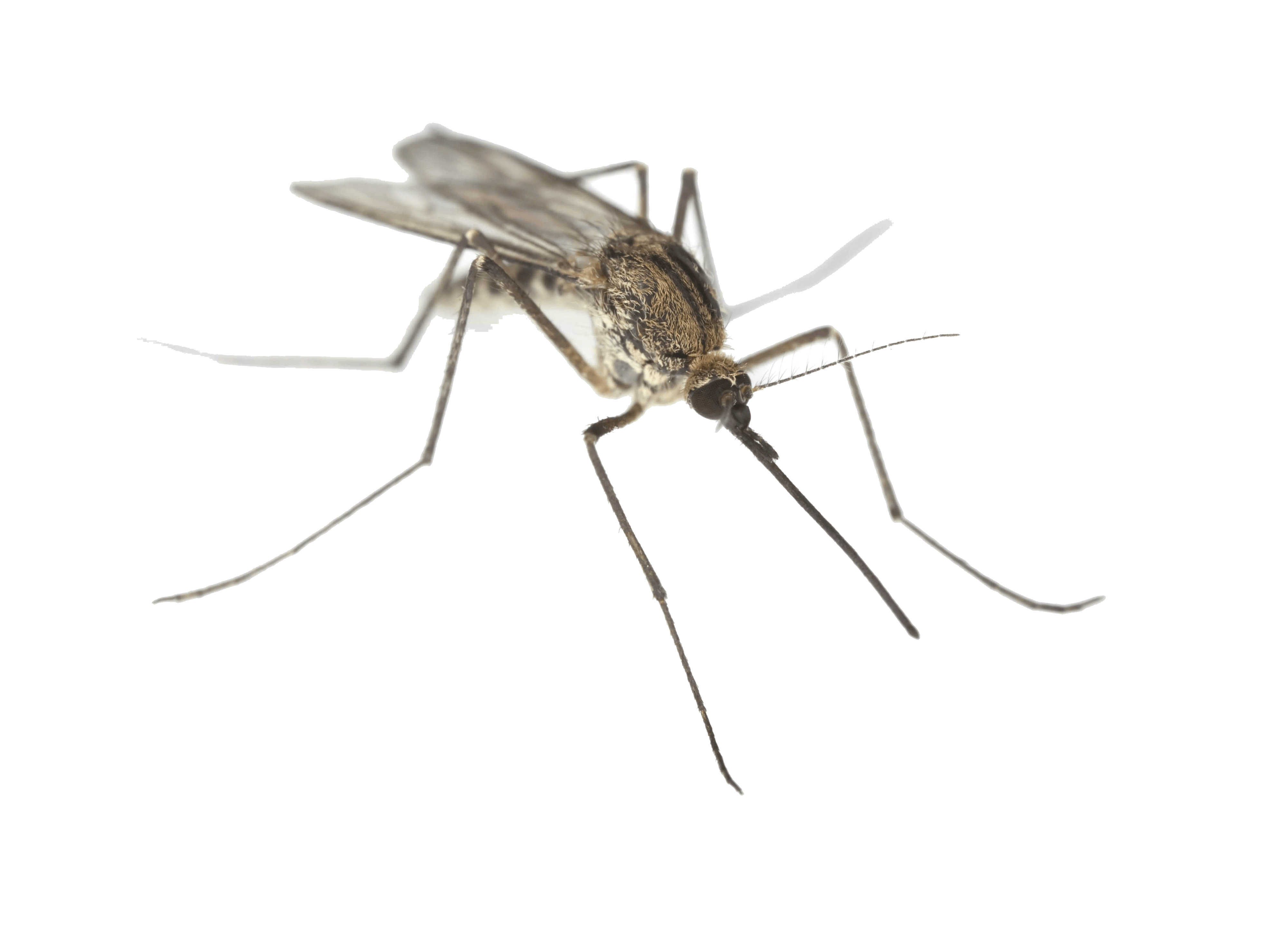 png royalty free stock Png images free download. Mosquito clipart dead mosquito.
