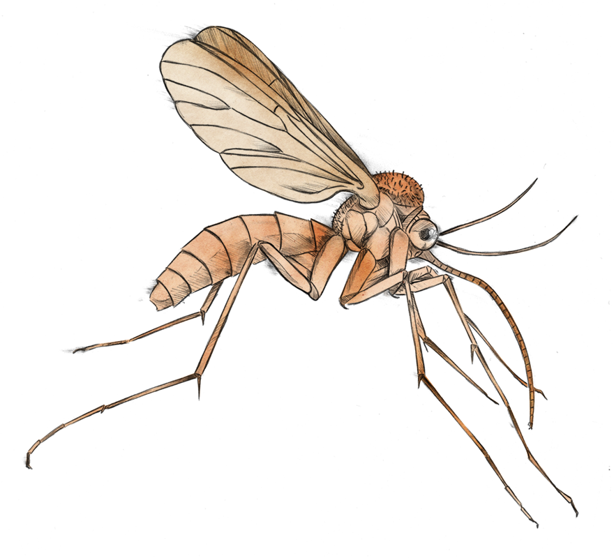 picture transparent library Mosquito clipart female mosquito. Panda free images mosquitoclipart.