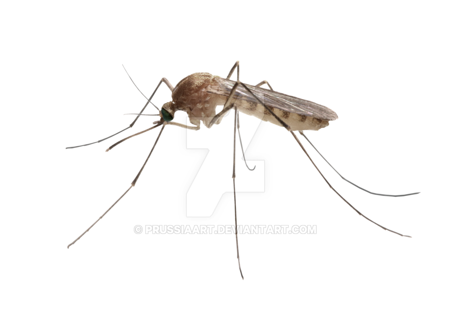 png royalty free Insect mosquito on a transparent background