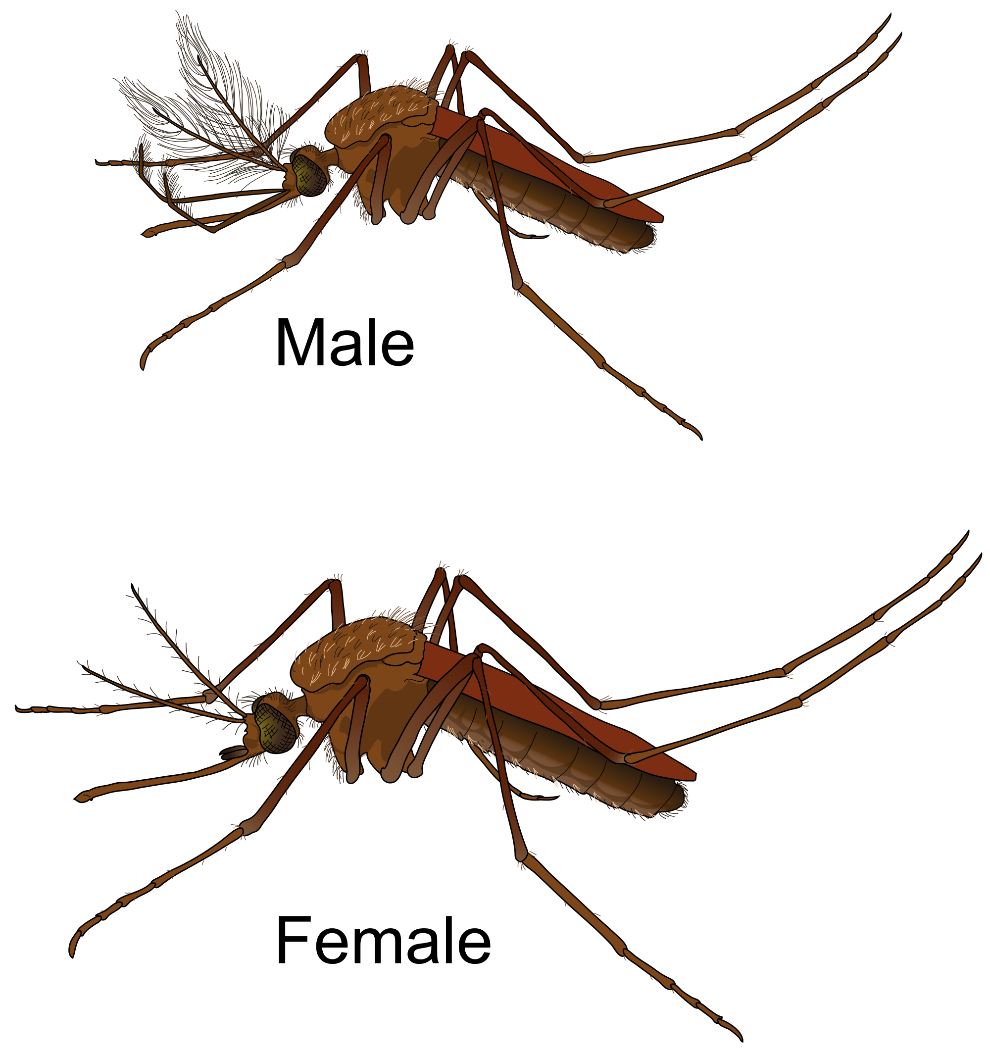royalty free mosquito transparent english #100021948