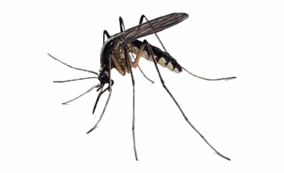 svg black and white download Mosquito Transparent