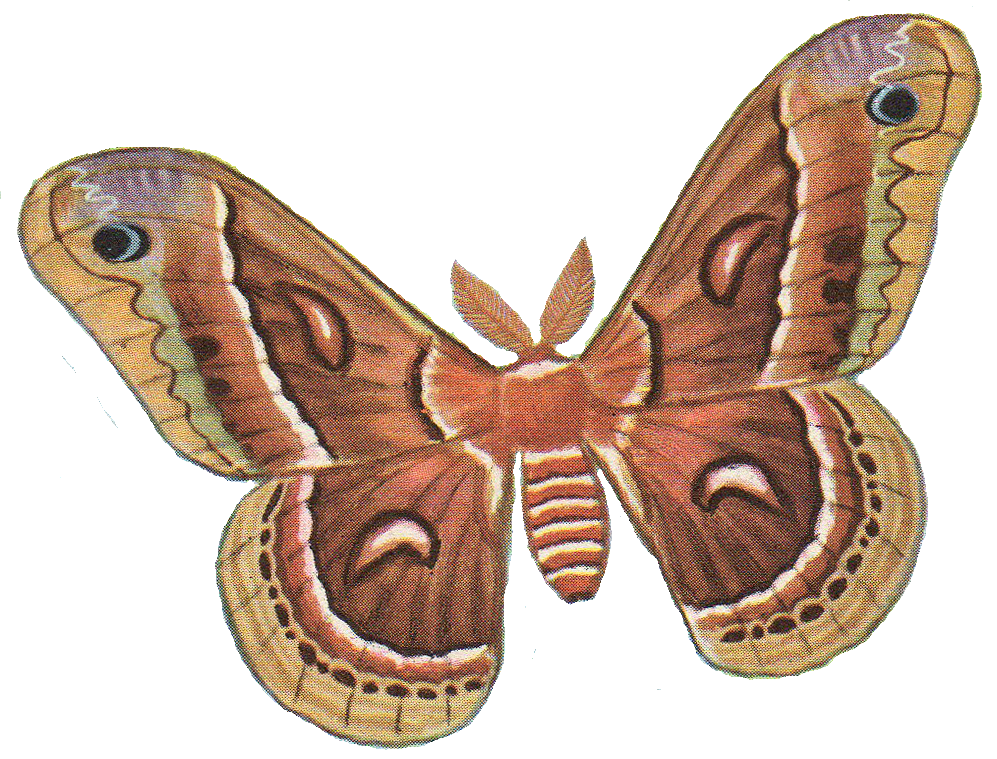 jpg free stock Pix for moths pinterest. Moth clipart.
