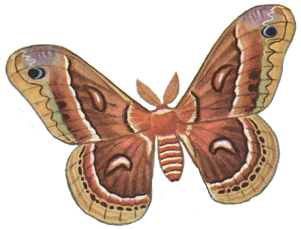 jpg free stock Pix for moths pinterest. Moth clipart