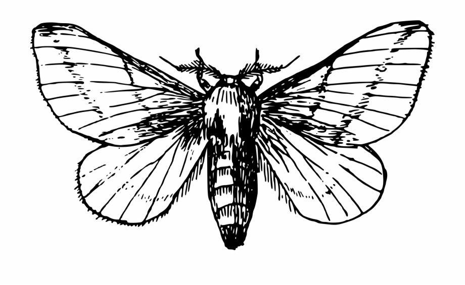 jpg free stock Moth clipart black and white. Maple transparent png .