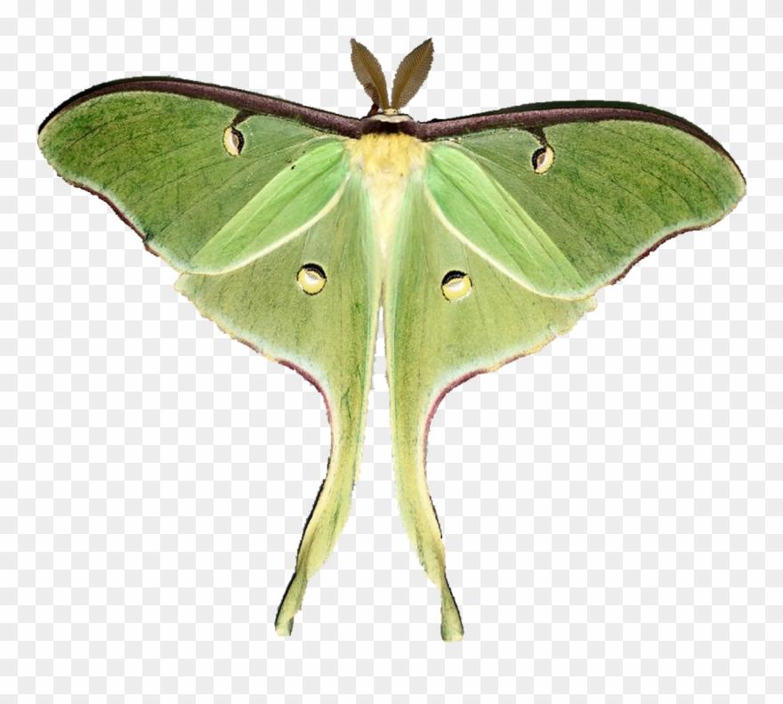 picture free Moon moths pinclipart . Moth clipart luna moth.