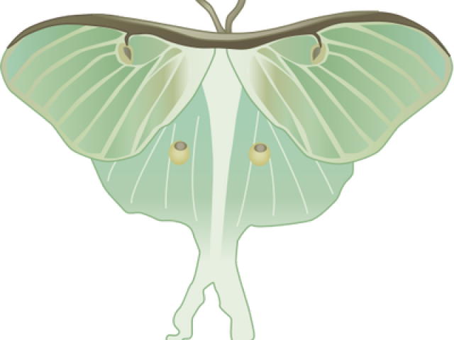 image free library Moth clipart luna moth. Free on dumielauxepices net.