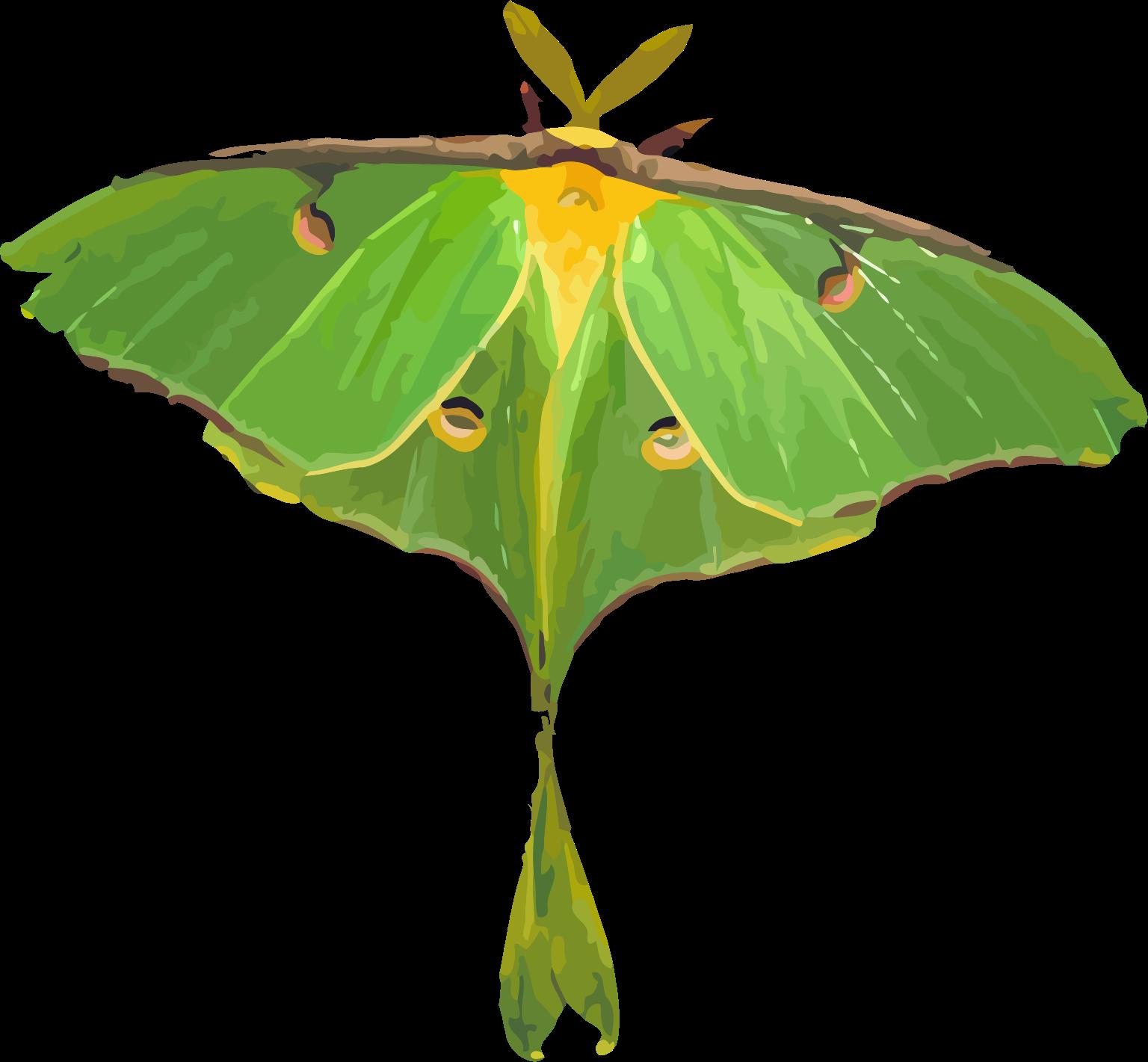 svg transparent stock Actias big image png. Moth clipart luna moth.