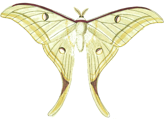 royalty free library Moth clipart luna moth. Vintage free on dumielauxepices.