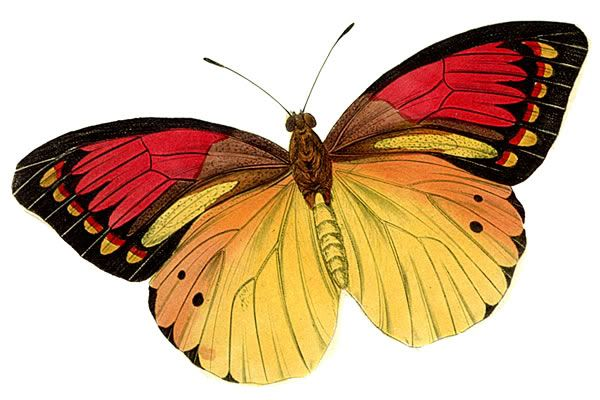 clip transparent stock Moth clipart realistic. Free real butterfly cliparts.