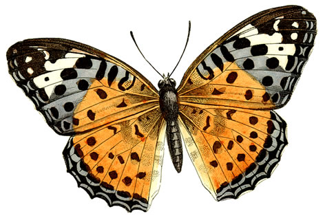clip transparent stock Free real butterfly cliparts. Moth clipart realistic.
