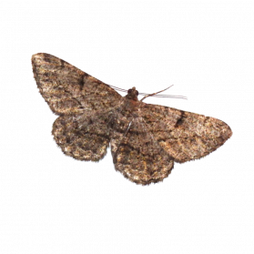 jpg royalty free download Moth PNG Images Transparent Free Download