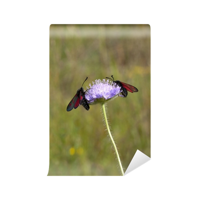 jpg freeuse download six spot burnet moth Wall Mural