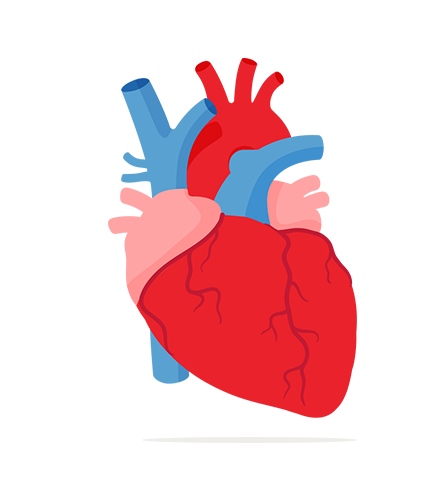 jpg transparent stock Muscle clipart heart muscle. How your works the.