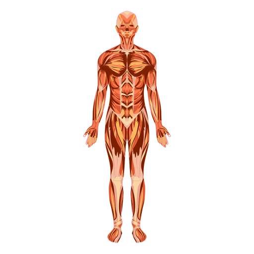 clip royalty free download Muscular system anatomy human body