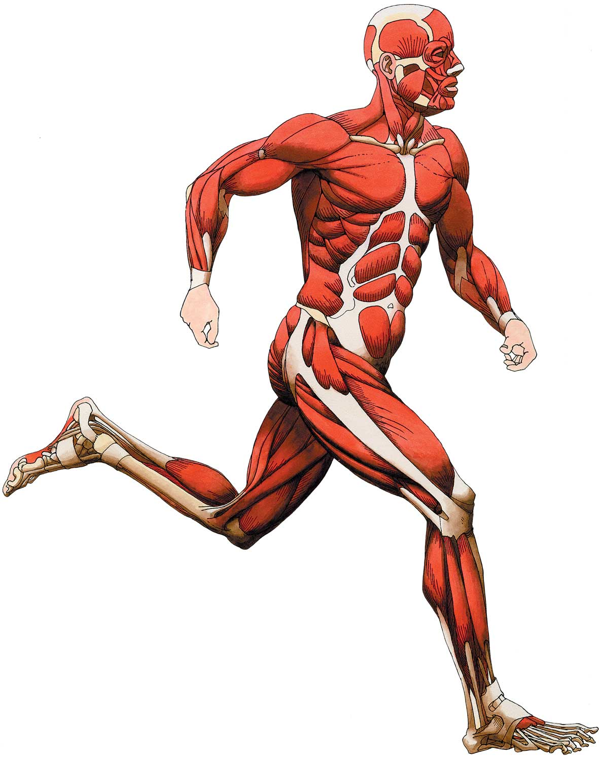 banner freeuse download Free cliparts download clip. Muscles clipart skeletal muscle.