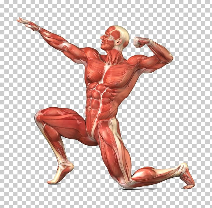 clip art royalty free stock Muscular system human body. Muscles clipart skeletal muscle.