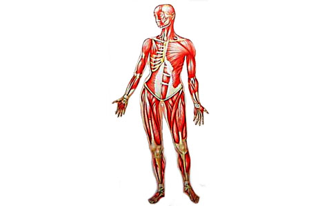 picture library library Muscles clipart skeletal muscle. Clip art library .