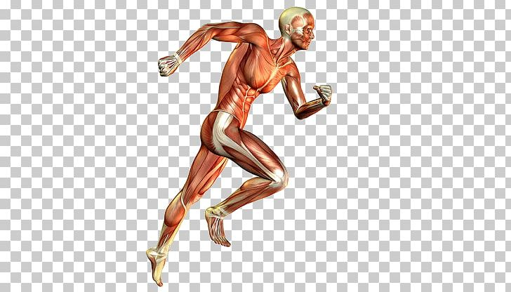 svg transparent download Muscles clipart skeletal muscle. Muscular system human body.