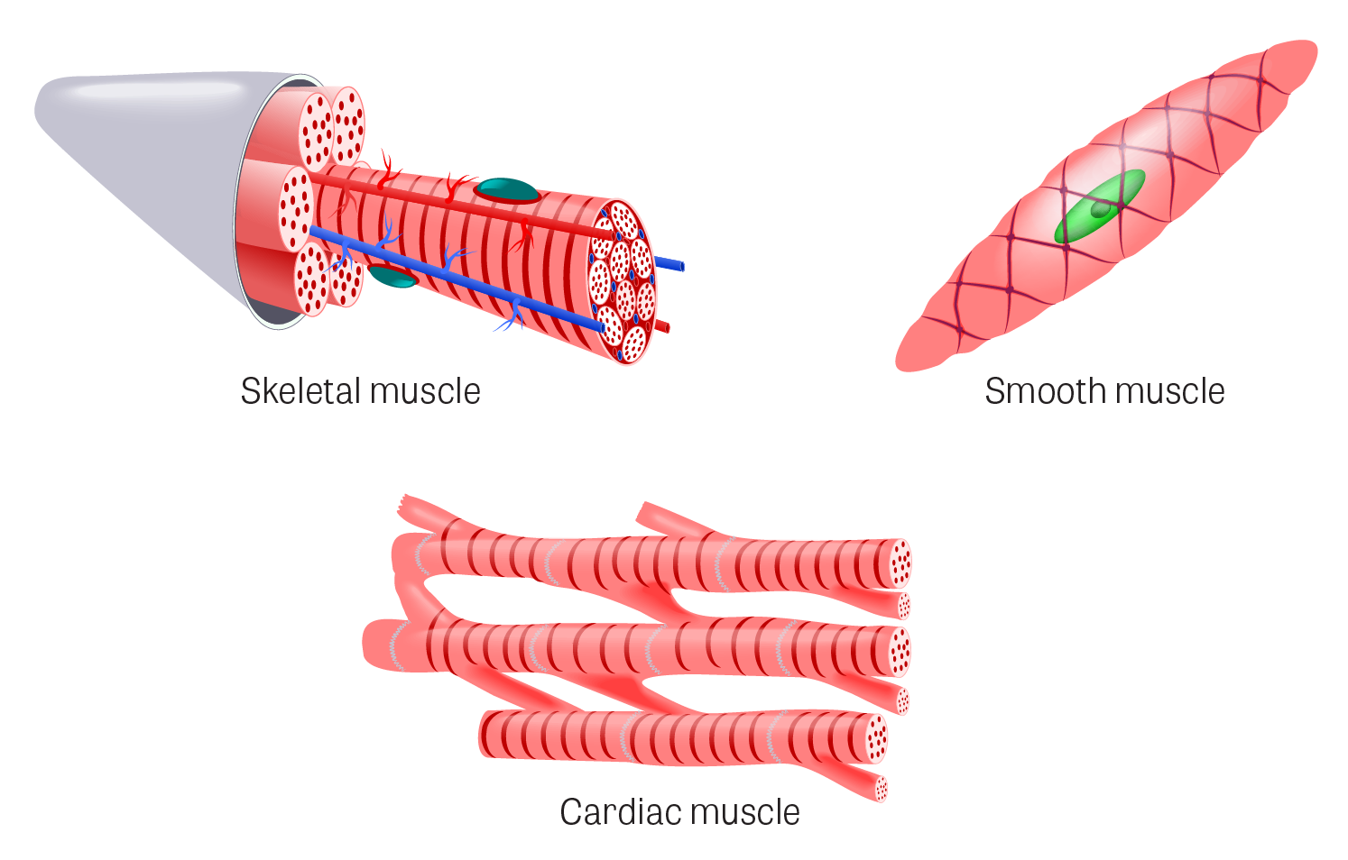 clip art royalty free Toxtutor tissues illustration of. Muscles clipart skeletal muscle.