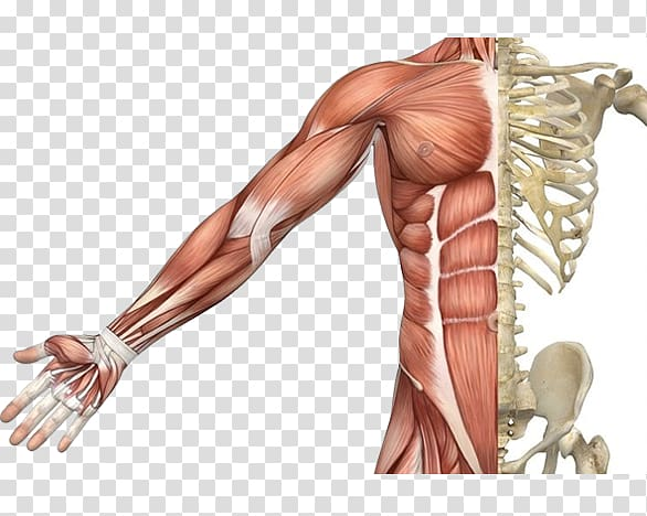 banner library Muscular system human skeleton. Muscles clipart skeletal muscle.