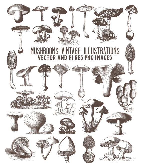svg black and white library Mushrooms clipart vintage. Mushroom engraving fungi clip