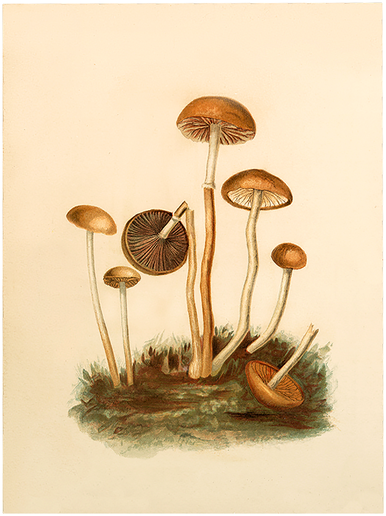 image transparent  mushroom images the. Mushrooms clipart vintage.
