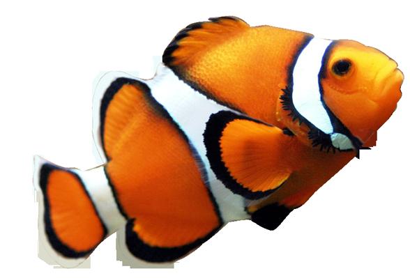 clipart transparent Nemo vector clown fish. Clipart panda free images
